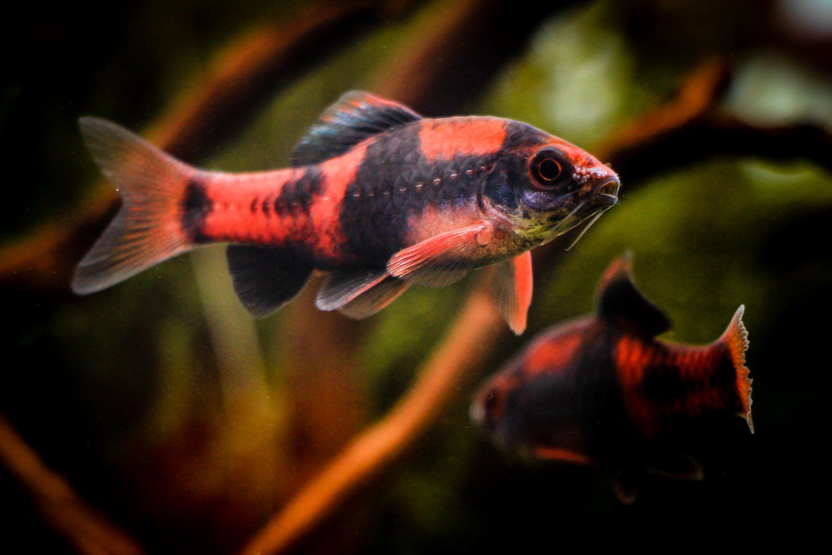 Puntius Melanampyx Aquariumfreshwaterfish Aquarium Fish Tropical Fish Aquarium Aquarium Fish Tank