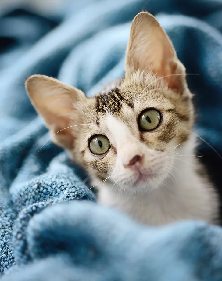 9 Small Cat Breeds That Don't Grow Over 10 Pounds Cat
