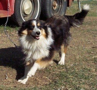 A Black Tan And White Tri Color English Shepherd Is Playing On A