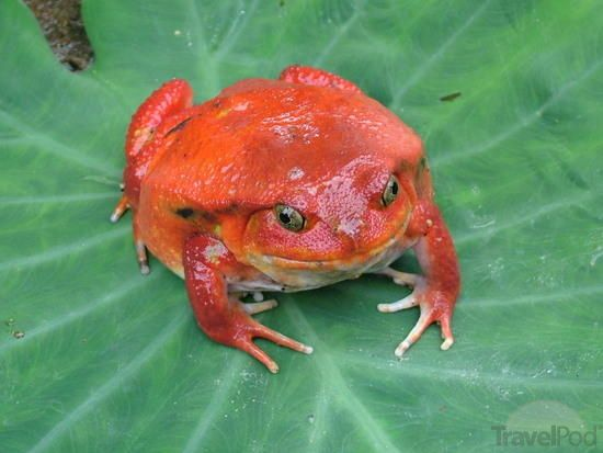 Madagascar Tomato Frog. Travel to Madagascar with ISLAND CONTINENT TOURS DMC. A member of GONDWANA DMCs, your network of boutique Destination Management Companies for travel across the globe - www.gondwana-dmcs.net
