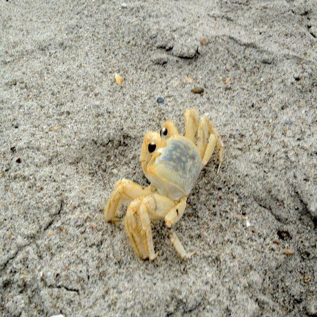 Ghost Crab Cocoa Beach Mrcrabs Crab Beach Cocoa Beach