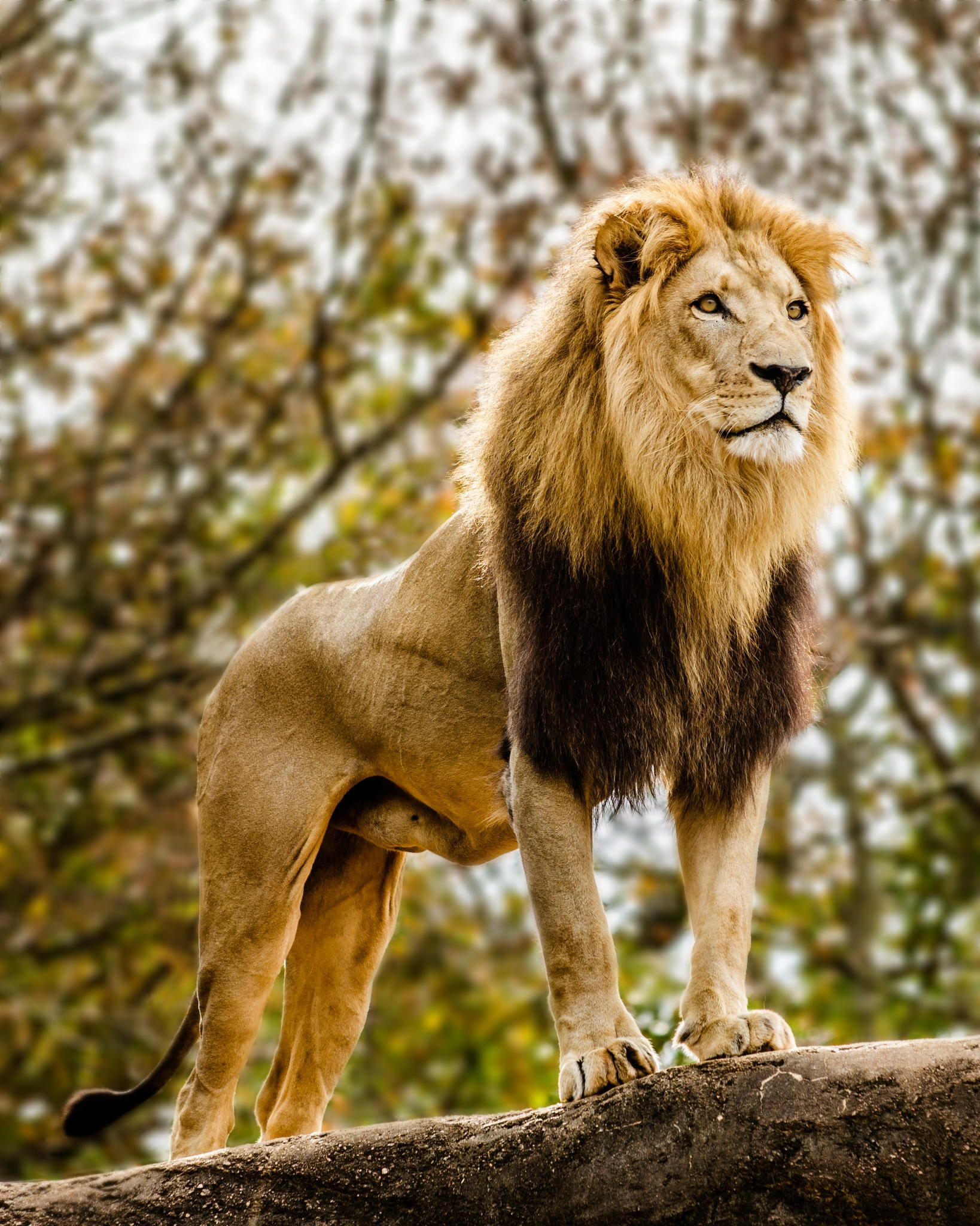 Male lion looking out atop rocky outcrop - Male lion ...