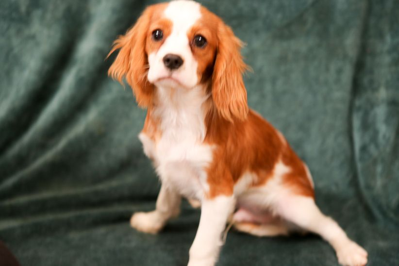 Cavalier King Charles Spaniel Puppies 602 434 6655 We Breed A Limited Number O Cavalier King Charles Dog King Charles Cavalier Spaniel Puppy King Charles Dog
