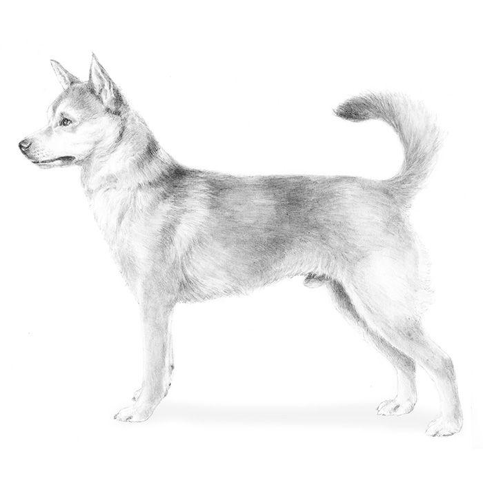 Norwegian Lundehund Dog Breed Information Australian Cattle Dog
