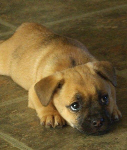 Pugle Pug Beagle I Want Pug Mixed Breeds Dogs Pet Pug