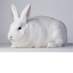 New Zealand White Rabbit Breed All Things Bunny Rabbit