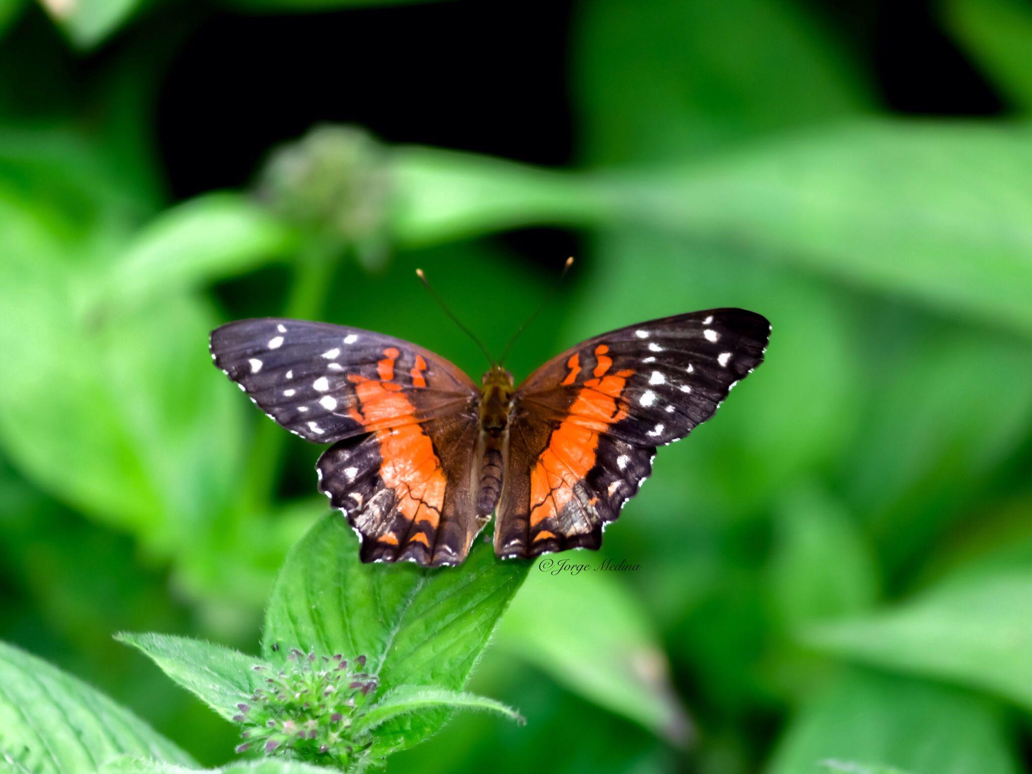 Butterfly Butterflies, Fairchild Tropical Garden Miami Florida  #JMphotography