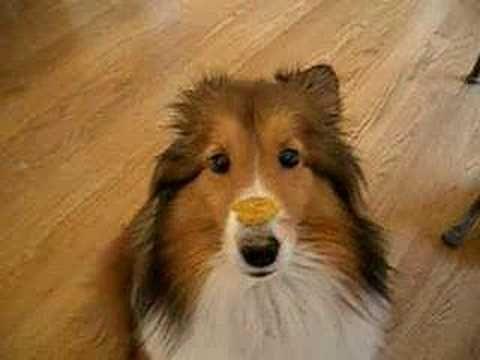 Resultado de imagen para shelties pinterest eating