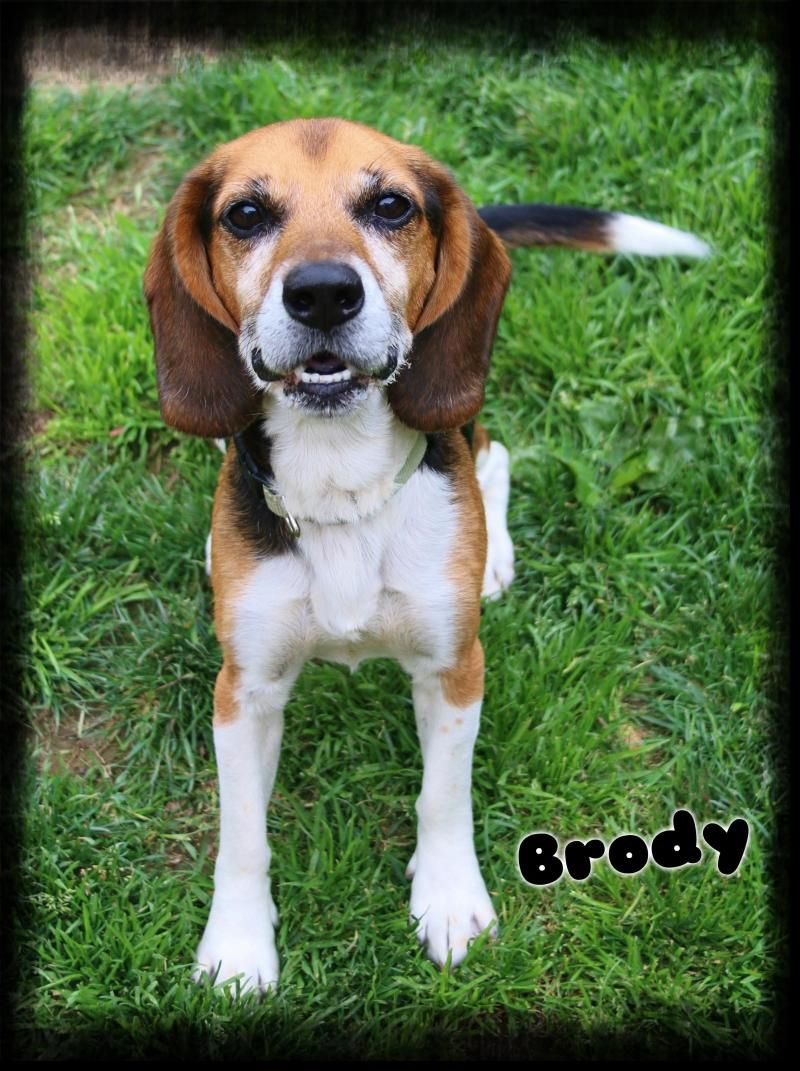 Adopt Brody On Adoptable Beagle Beagle Animal Rescue Center