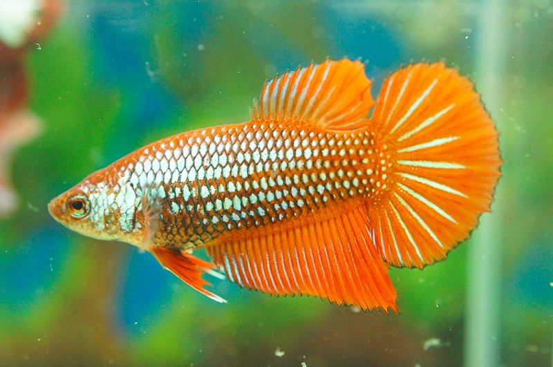 Female Betta Type Identification Thread Betta Fish Care Betta Betta Fish