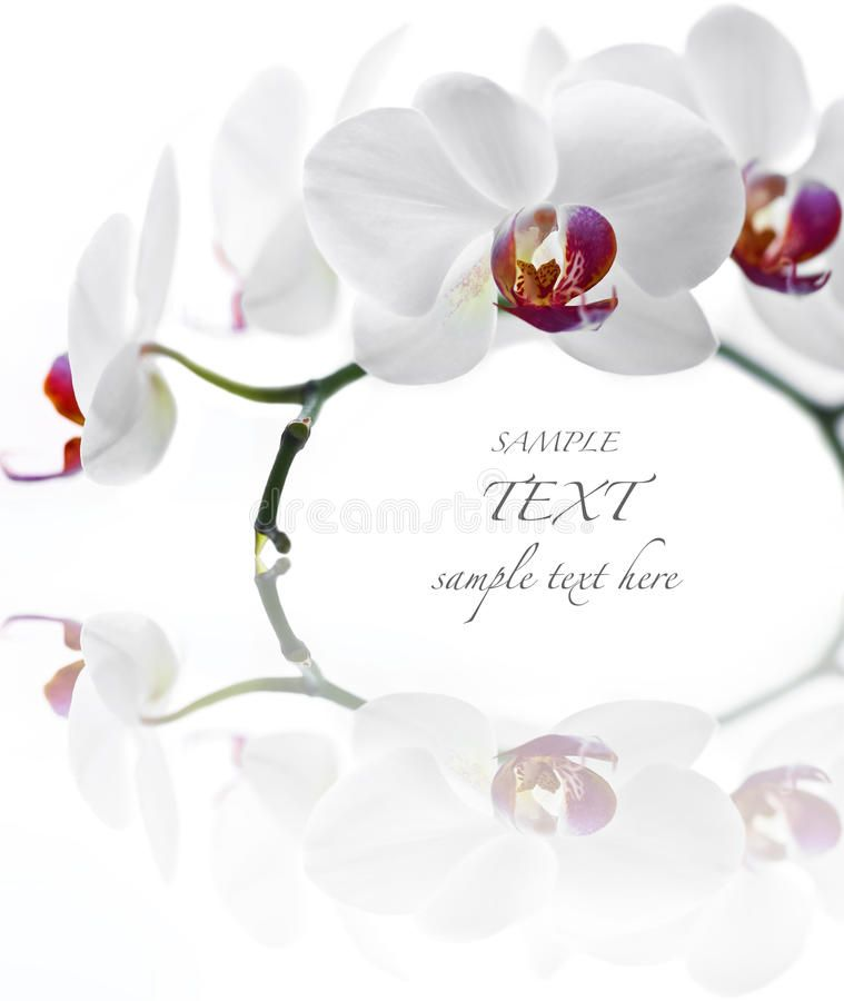 White Orchid Phalaenopsis On White Background Affiliate Orchid White Phalaenopsis Background White Ad White Orchids Orchids Phalaenopsis