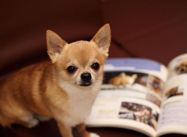 Download Chihuahua Canine Adorable Dog - e61b9fb9ed5c91d4684aedb532bed3e6  Perfect Image Reference_93934  .jpg