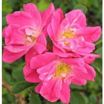 William Baffin - Hardiness Zone: 3 Approximate Size: 7' to 10' tall by 7' to 10' wide Bloom Type: Medium, Semi-Double Color: Deep Pink Bloom Repeat: Slight Fragrance: Light