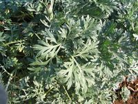Absinthium (Wormwood) as insect repellent