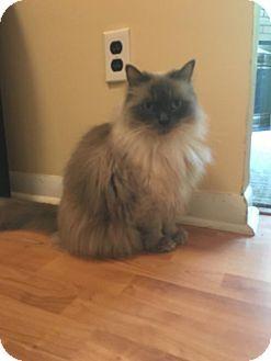Marlton Nj Ragdoll Meet Kitty A Cat For Adoption Http Www Adoptapet Com Pet 17118829 Marlton New Jersey Cat Cat Adoption Kitten Adoption Pets