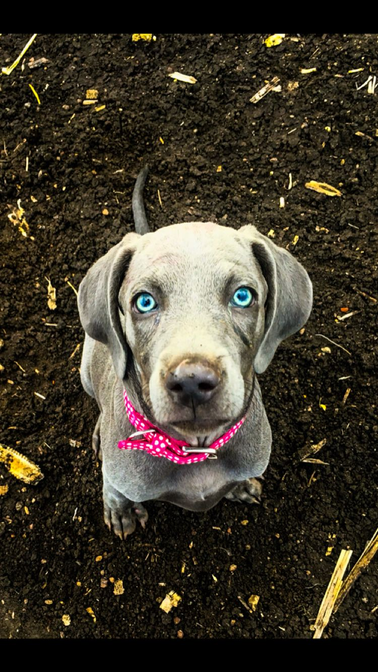 Pin about Weimaraner and Dogs on American Blue Weimaraners