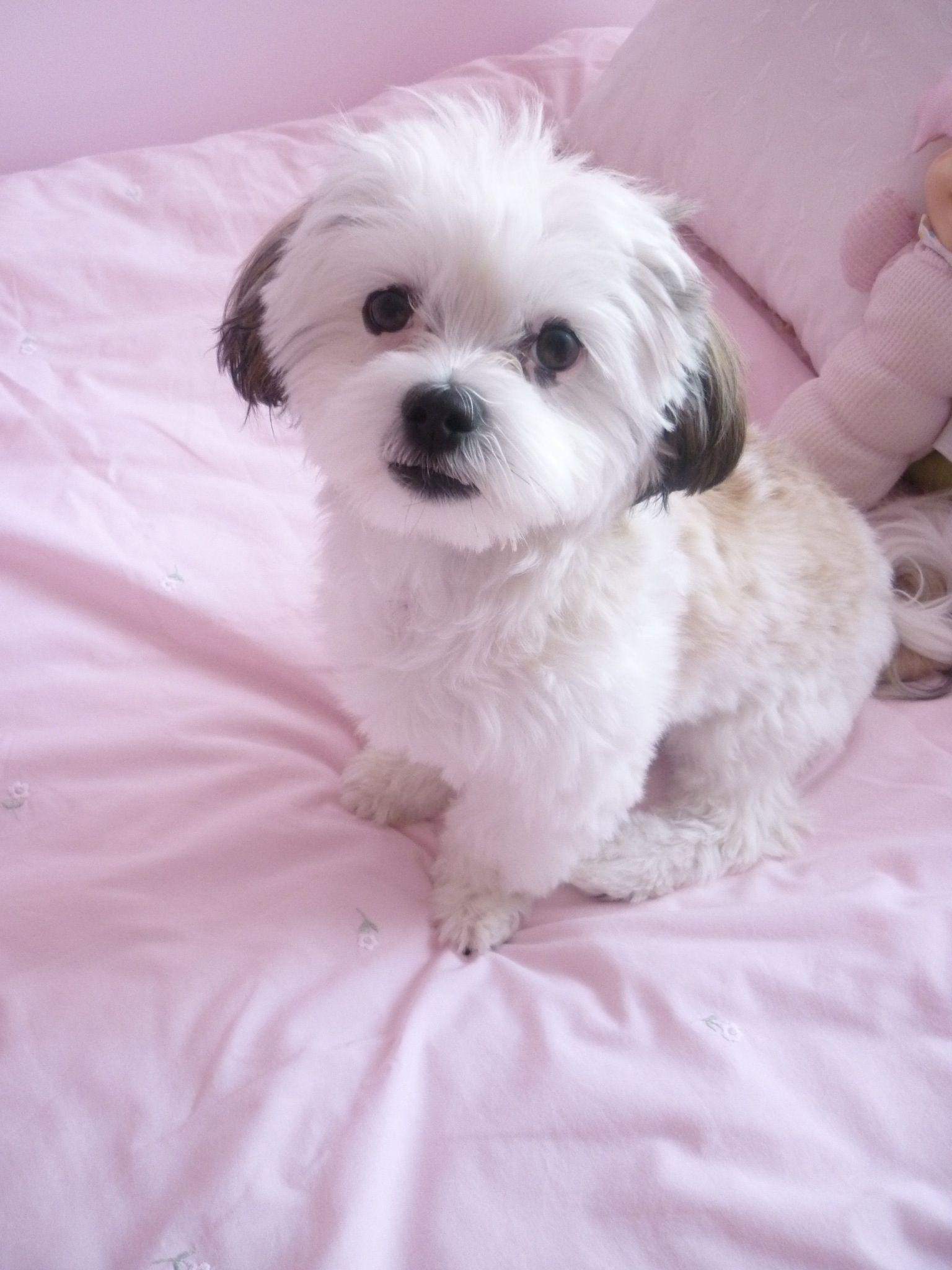 My Cute Maltese Shih Tzu Lap Dog Breeds Dogs Cute Dogs
