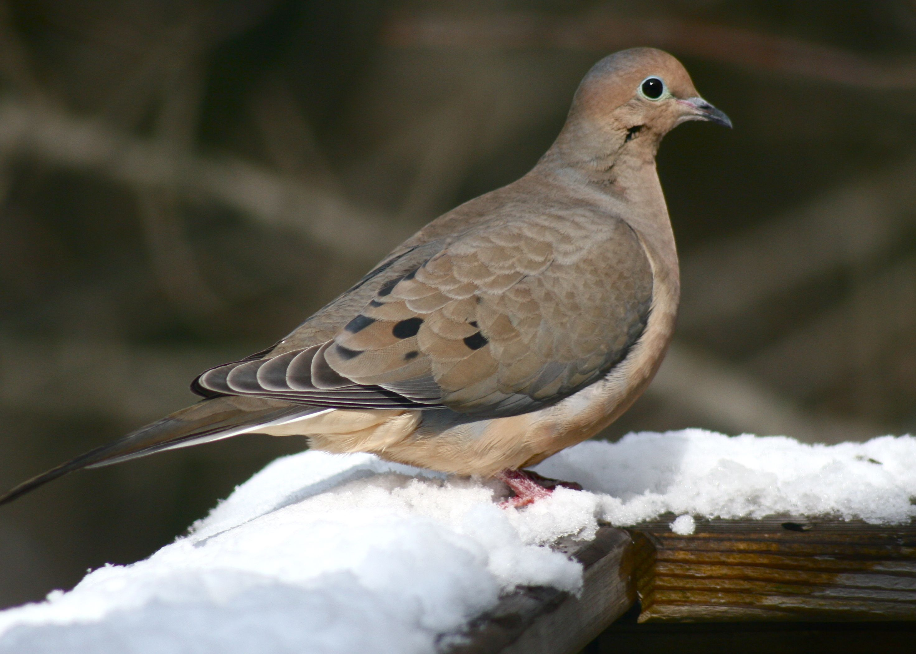 the mourning dove was the 2nd most spotted bird in the atlantic