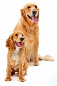 Golden Retriever Puppies Dogues Puppy Training Tips Dog