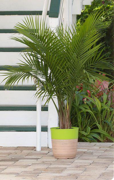 Majesty Palm Prefers Part Shade But