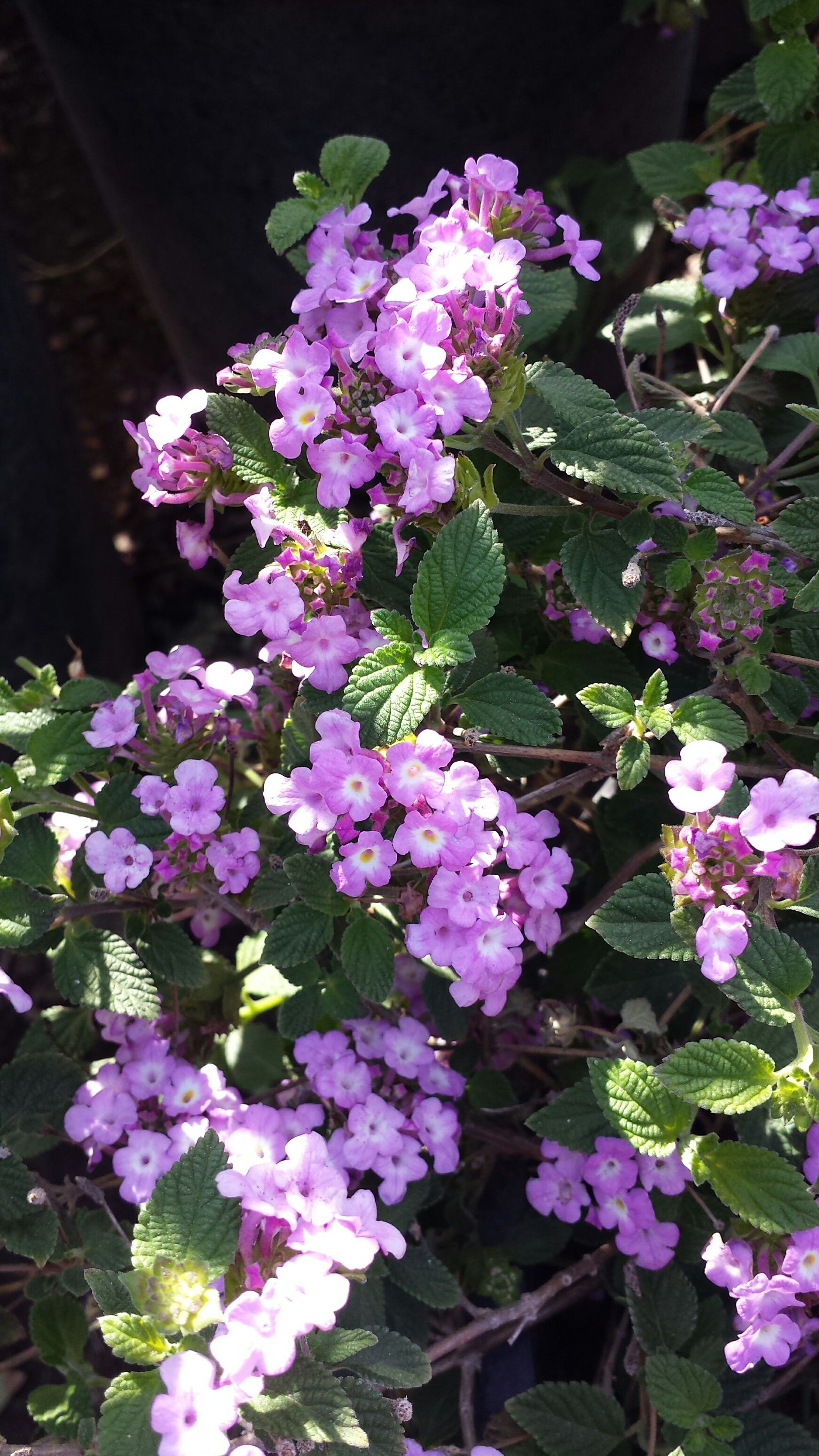 Purple Trailing Lantana Lantana Mont Purple Summer Flowers