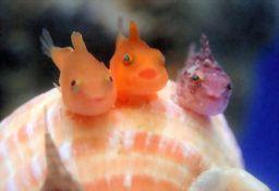 Asahi Com 朝日新聞社 まんまるふわふわ フウセンウオの稚魚 稚内の水族館 環境 フウセンウオ ふぐ かわいい かわいい魚
