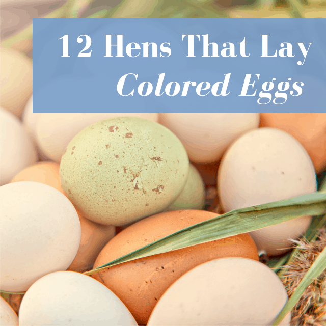 12 Chickens That Lay Colored Eggs: Blue, Green, Chocolate ...