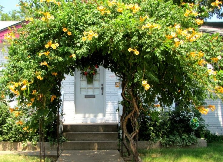 Yellow trumpet vine yellow trumpet vine i have the common orange yellow trumpet vine yellow trumpet vine i have the common orange one and would like this yellow also mightylinksfo