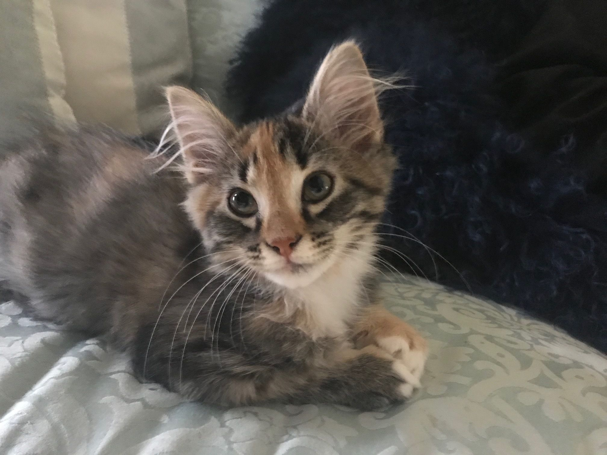 Adopt Pippa On Petfinder Cat Adoption Animals Cat Help