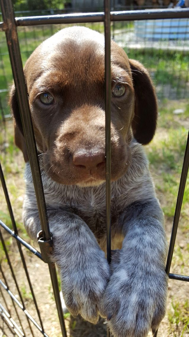 Crazy german shorthaired pointer puppies for sale baby in
