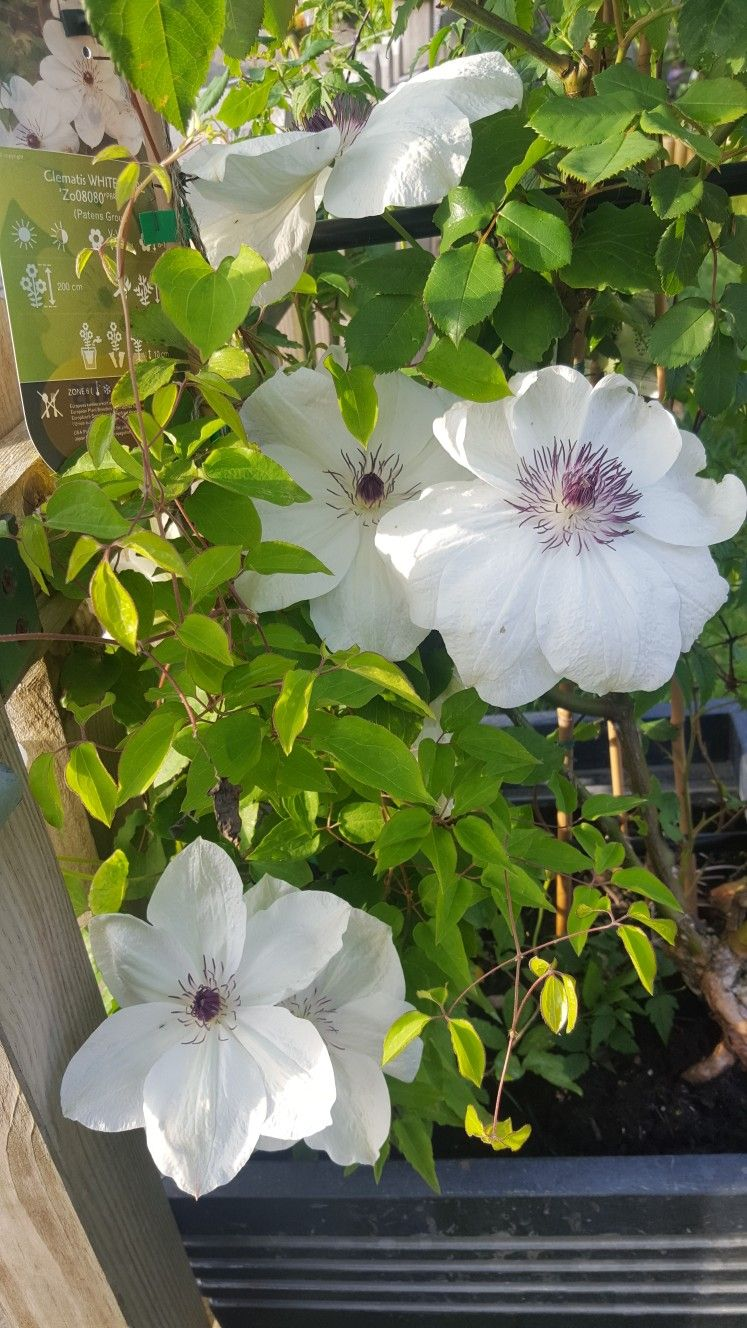 White pearl clematis clematis clematis flowers plants