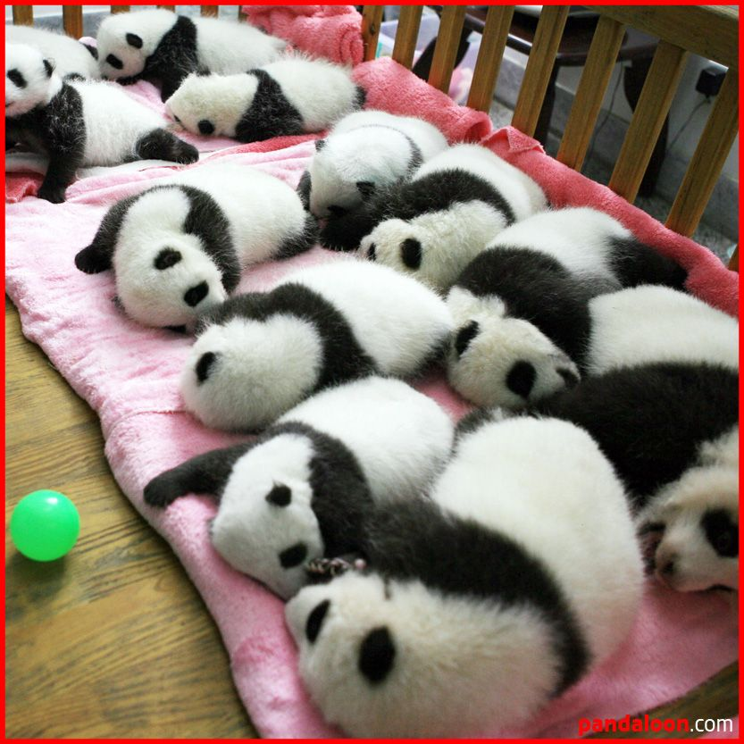 Giant Pandas Are Born Tiny About 100g Or 4 Ounces Blind White And Helpless The Mother Cradles Her Cub In A Paw Doesn T Leave Den For