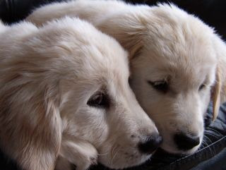 Breeder Support Puppy Culture Eden Kennels Golden Retriever