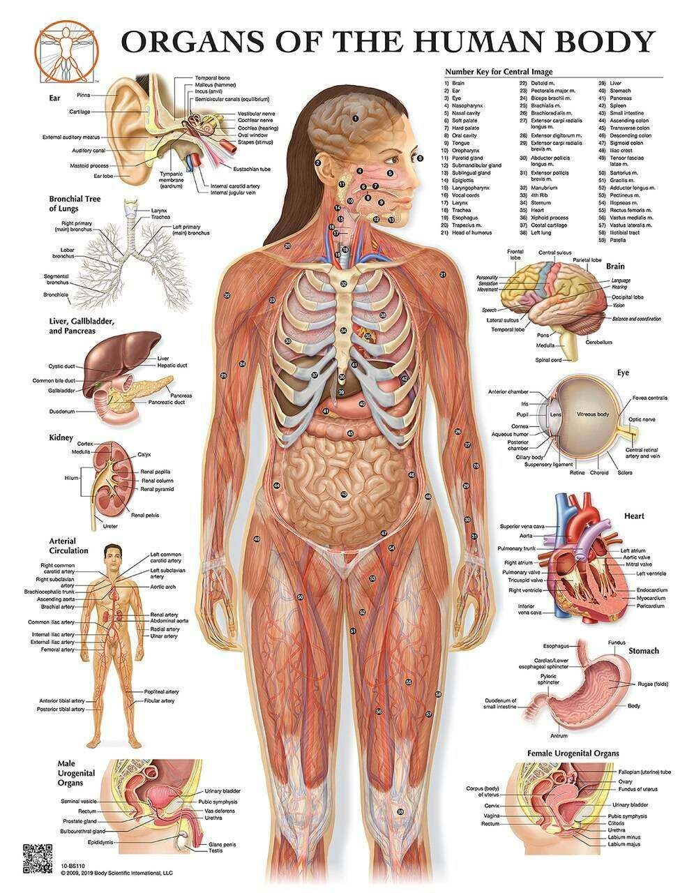 29+ Organs of the human body, poster