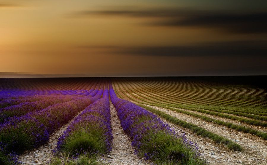 Endless lavender rows in Provence. by Tramont_ana on 500px