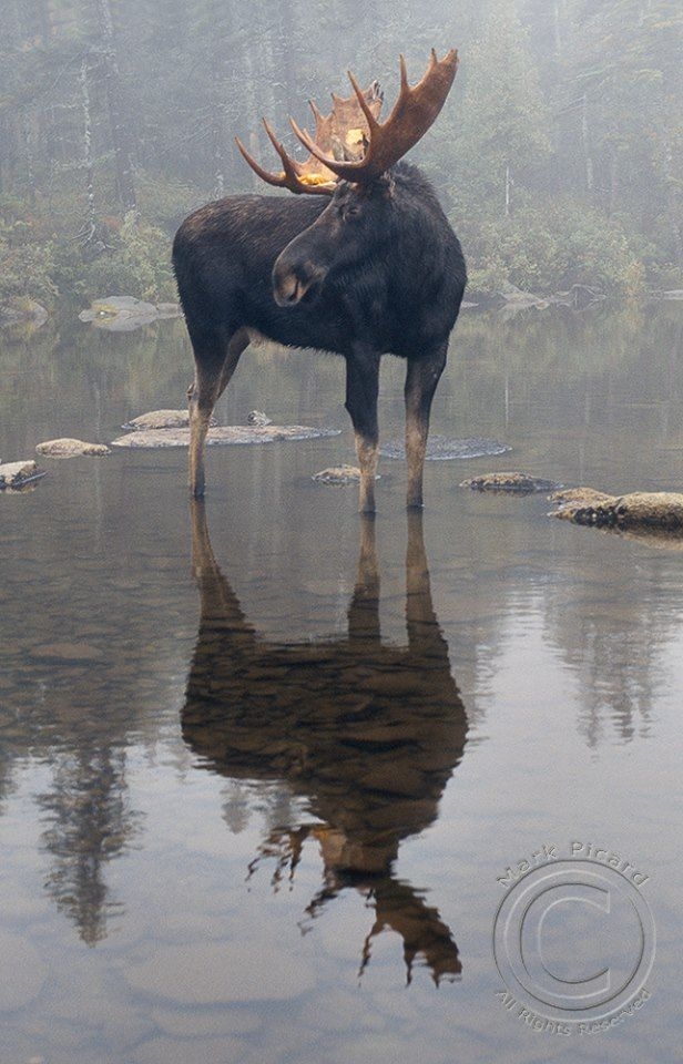 Best 25 Moose Ideas On Pinterest Caribou Animal