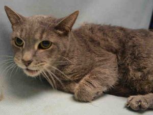 Sushi A1111278 6yrs Declawed Neutered Male Gray Tabby White Dsh Declawed Sushi Is A 6 Yr Old Neutered Bo Cat Adoption Cute Animals Cats And Kittens