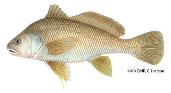 Freshwater Drum can be 1230 inches and can reach 20