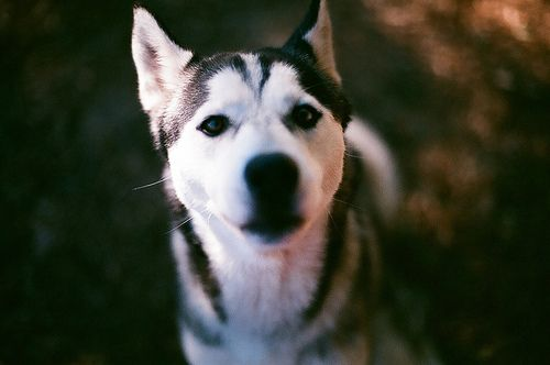 Husky Puppy Husky Cute Dogs Animals Cute Animals