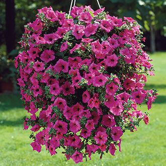 Petunia Surfinia Hot Pink Flower Plants 8 95 From Mr Fothergills