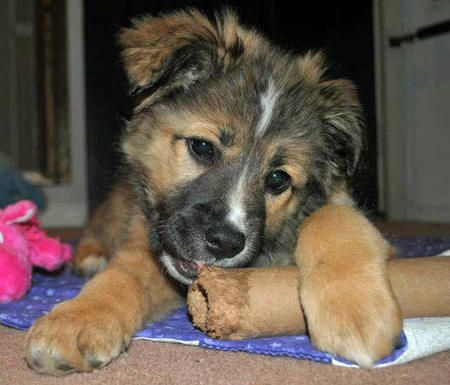Australian Shepherd Chow German Shepherd Mix Puppies And