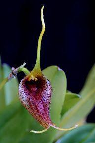 Orquídeas na flor: Paphiopedilum álbum venustum