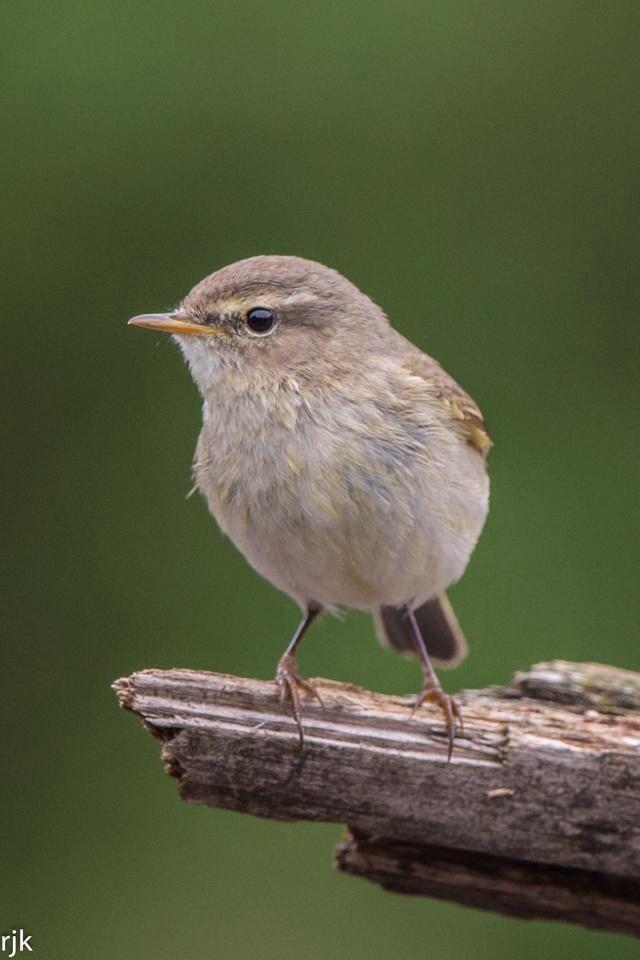 Phylloscopus Collybita Vogels Dieren Vogeltjes