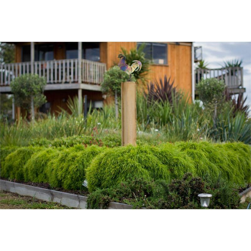 140mm Acacia Limelight Acacia Cognata Common Garden Plants