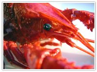Astaxanthin's health benefits.- Astaxanthin gives lobsters, shrimp and flamingos their red coloring