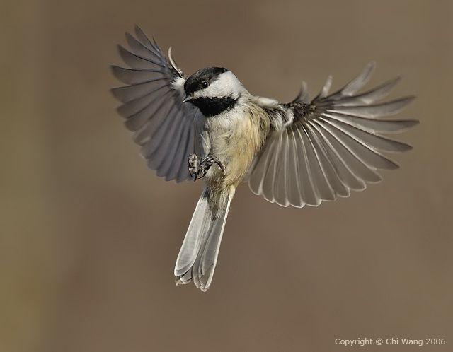 Chickadee•♥•   Chickadee, Bird art, Bird lovers - photo#5