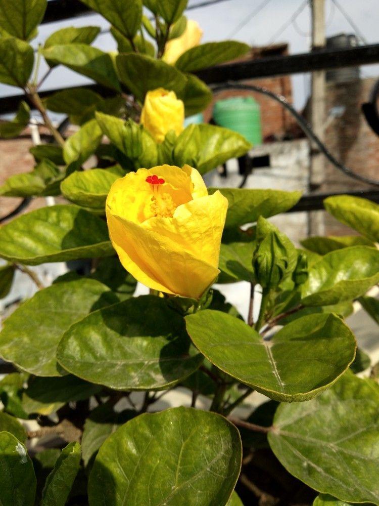 Hibiscusgulhad Indian Plant Varieties Plants Hibiscus Garden