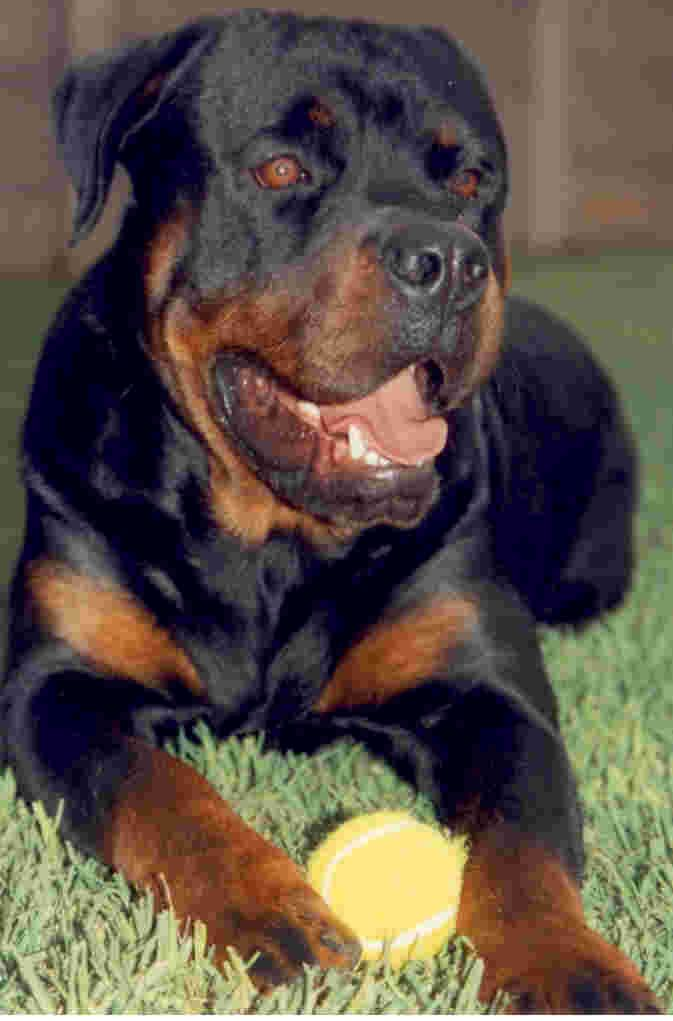 Rottweiler Dog Photo Rottweilers Rottweiler Breeders In South