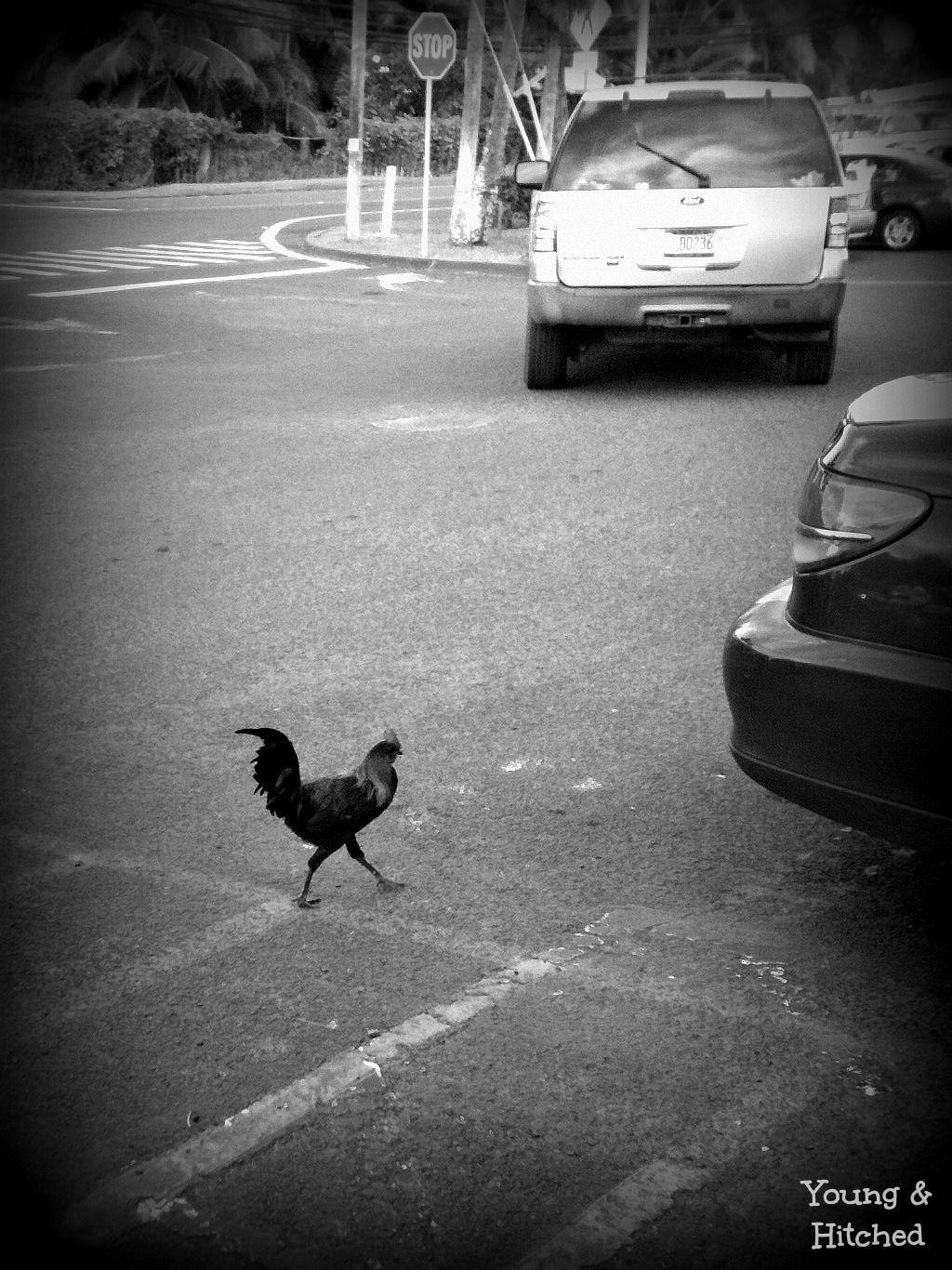 Rooster #crazyanimal #foodland #roadkill #Hawaii #Laie