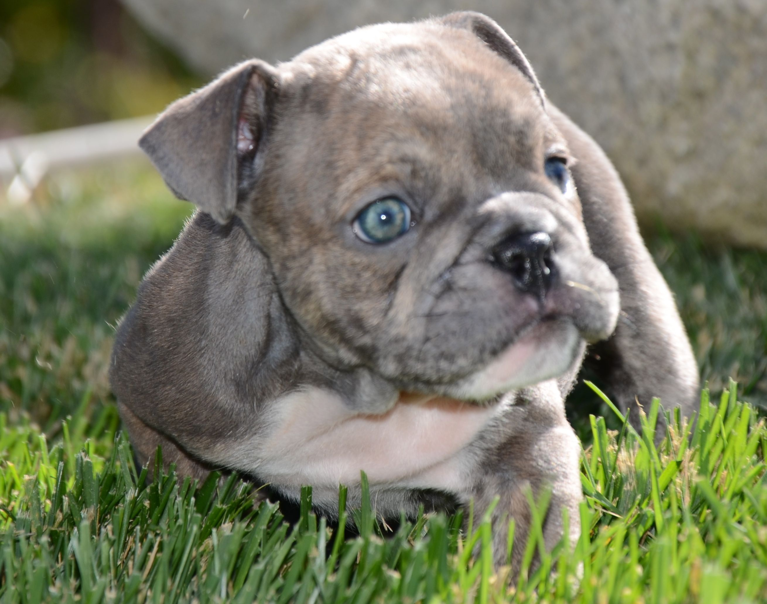 English Bulldog Blue Eyes For Sale